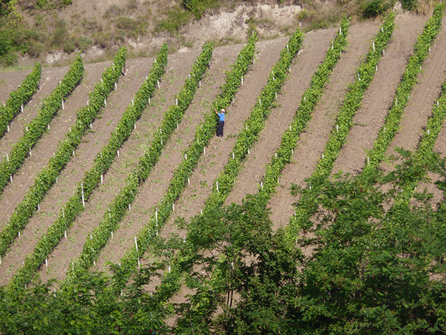 vigne-colli-tortonesi-piemonte-ph-a-ordagova